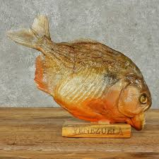 fish wall mounts red bellied piranha fish mount for sale 16240 the taxidermy store