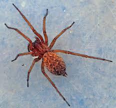 hobo spider venomous spiders of north america pinterest hobo