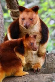 goodfellow u0027s tree kangaroo dendrolagus goodfellowi marsupials