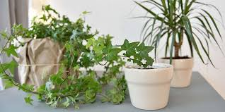how english ivy helps reduce mold in your home