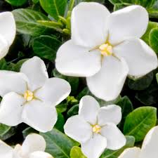 gardenia jasminoides kleims hardy 13cm pot plant