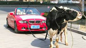 bmw car plant cattle keepers of africa don t throw away the cow dung