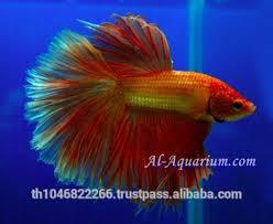 halfmoon betta fish farm for sale and export ornamental fish