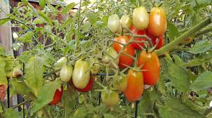 how to protect your tomatoes from birds and rodents youtube