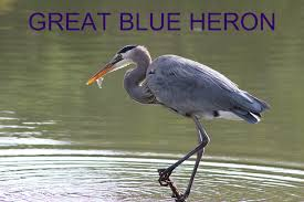 Heron Meaning by Rock Falls Area Animal Encyclopedia Visit Rock Falls Illinois