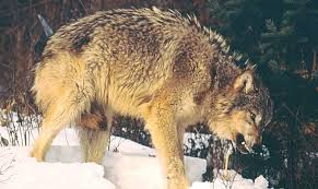 wolf country the pack postures and social structure