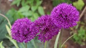 allium flowers more beautiful allium flowers