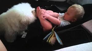 bichon frise funny funny baby u0026 dog 2012 new bichon frise kitzelt baby lustig