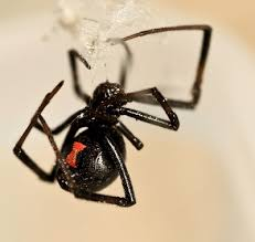 Black Widow Spiders Had A - black widow spiders hourglass evolved to warn off predators be