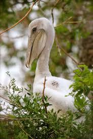 359 best pelicans images on pinterest animals beautiful birds