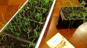 seed starting onions and leeks indoors save money the rusted