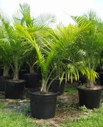 transplanting palm tree from a container into the ground