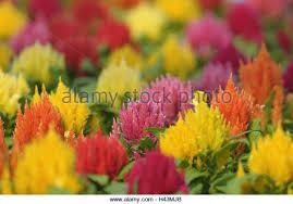 flower plume stock photos flower plume stock images alamy