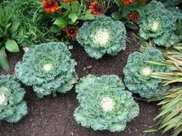 ed s favorites flowering kale