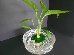 peace lily floating peace lily perfect for fish bowls and aquariums