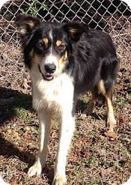australian shepherd and border collie mix tempe az border collie australian shepherd mix meet chaz a