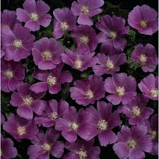 candy cups wholesale anoda dilleniana candy cups wholesale seeds and vegetative