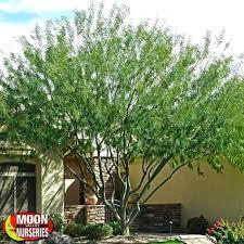 ornamental trees for landscaping flowering ornamental trees for