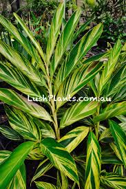 heliconia canna and plants