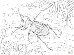 golden ground beetle coloring page free printable coloring pages