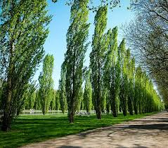 common fast growing trees b rocke landscaping