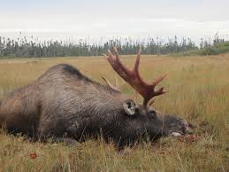 moose facts and information