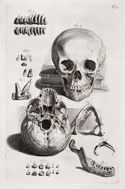 Human Jaw Bone Anatomy Anatomical Drawing Engraving Of A Skull With Jaw And Teeth