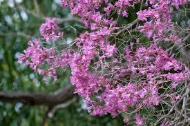 purple lilac trumpet tree varieties u2013 yellow white pink and purple flowers