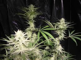 marijuana flowering stage growing organic marijuana growing