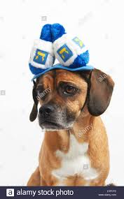 chanukah hat puggle in hanukkah hat stock photo royalty free image 52585122 alamy