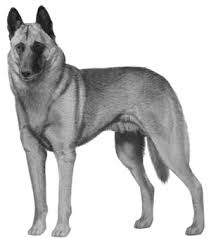 belgian malinois competition the ultimate dog breed resource the belgian malinois