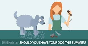 shaving a australian shepherd why you shouldn u0027t shave your dog in summer dogs naturally magazine