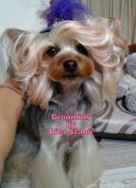 female yorkie haircuts styles love the cute grooming job the ears look like my percy