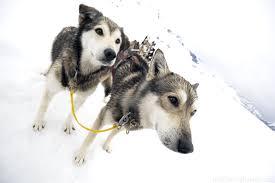 dog sledding in juneau alaska travel blog finder