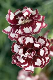 dianthus flower fruit punch coconut punch pinks dianthus hybrid proven