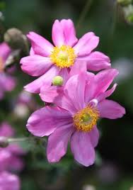 anemone plant how to grow japanese anemones telegraph