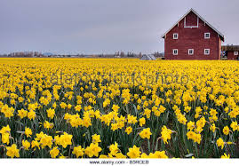 Red Barn Mt Vernon Mo Field Yellow Daffodils Mount Vernon Stock Photos U0026 Field Yellow