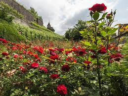 town of roses rapperswil zuerich com