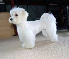 different styles of hair cuts for poodles 24 best maltese grooming hairstyles images on pinterest doggies