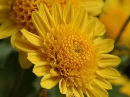 november flower chrysanthemum dfw flowers