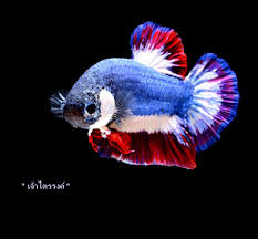 Thai Flag You Betta Believe It Siamese Fighting Fish In Flag Colors Sold