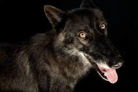 belgian shepherd timberwolf canis lupus images joel sartore