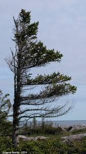 krummholz one sided tree