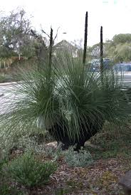hardy australian native plants 414 best australian native plants images on pinterest australian