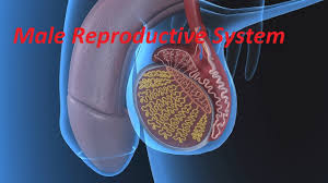 Images Female Anatomy Anatomy And Physiology Of Male Reproductive System Youtube