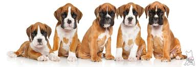boxer dog feet shop the blissful dog boxer dog collection for your boxer u0027s care