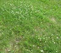 clover improves your lawn