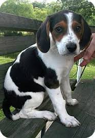 bluetick coonhound mix puppies i am in love with this dog if only i didn u0027t have 2 dogs already