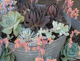 197 best tuin vetplante succulents images on pinterest