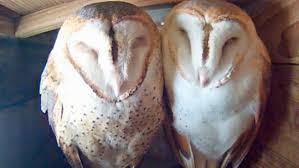 North American Barn Owl Bird Cams Faq Barn Owl Nest All About Birds